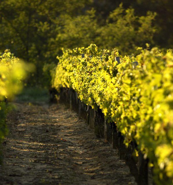 Vignes Vignobles Massé
